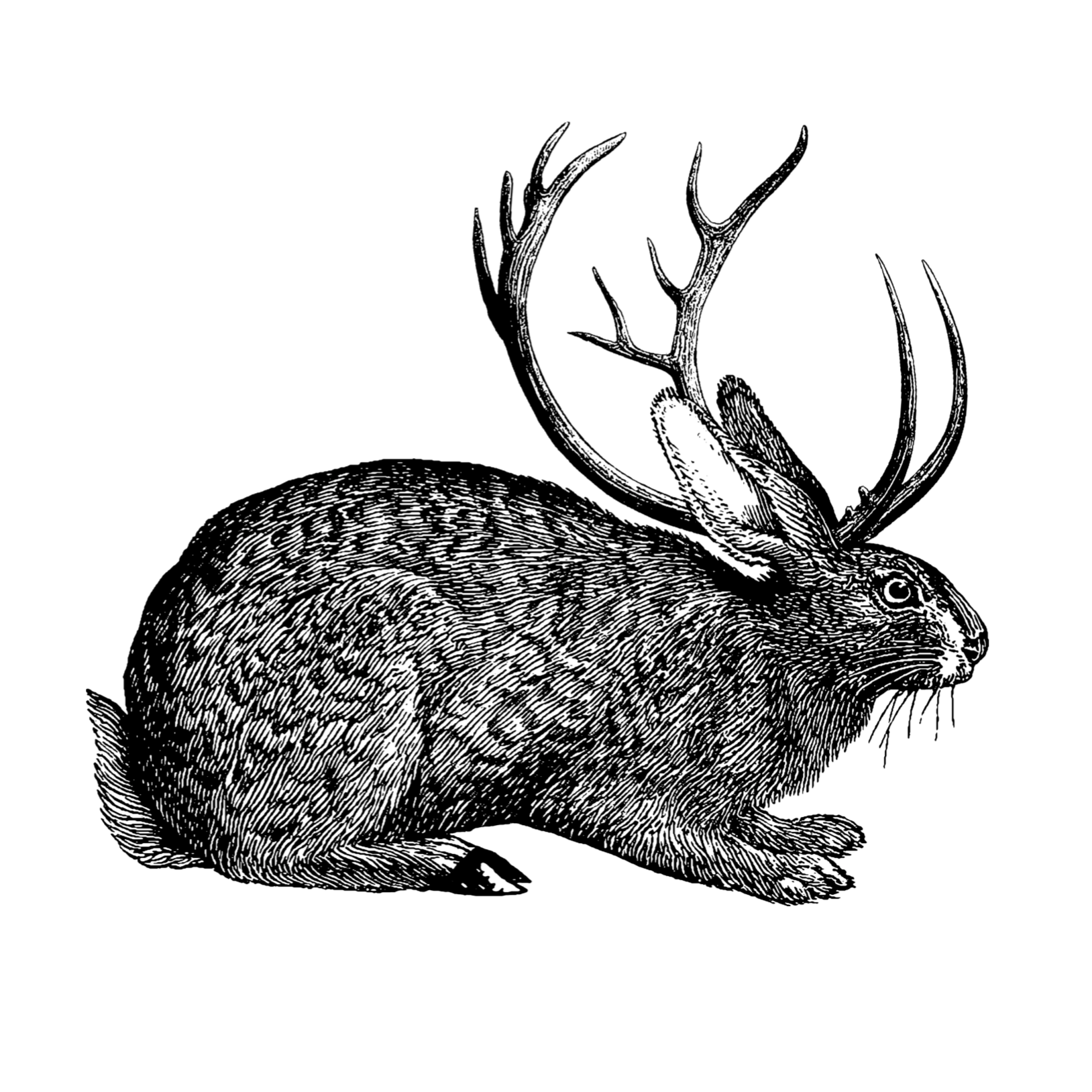 The mythical Jackalope